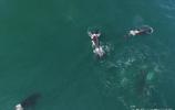 目睹虎鯨群圍剿小鬚鯨