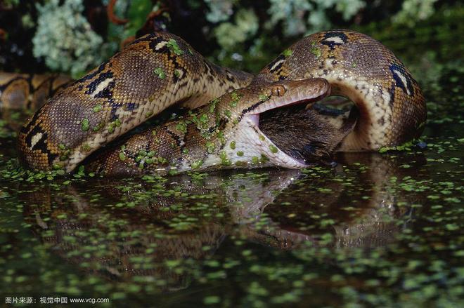蟒蛇:雌雄鑑別