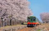 日本最美的一列火車,穿過櫻花地令人心動,每年吸引無數中國遊客