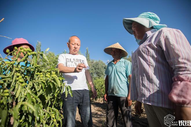 靠種冬棗致富!新疆萬畝果園幫助成百上千家庭脫貧致富