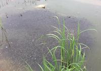 小龍蝦養殖過程中,是不是水草越多越好,過多的水草有哪些副作用?