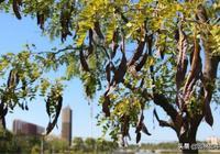 皁角樹渾身是寶,在栽植過程中卻經常突然枯萎死亡,這是為什麼?