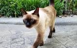 """暹羅貓,一個被稱為從小就開始""""挖煤""""的貓"""
