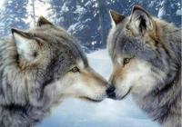 荒野獵人:他和母狼一起倒在了血泊中 劇本故事