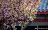 知否?知否?應是綠肥紅瘦---山東濟南李清照紀念堂垂絲海棠