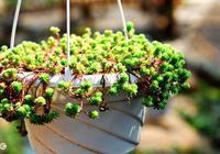 多肉小菜蟲:什麼樣的多肉植物需要用浸盆的方式來澆水?