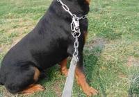 世界名犬——羅威納防暴犬