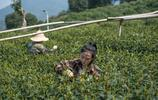 上海女記者回到杭州老家當採茶女:名利場太累,西湖邊種茶更自在
