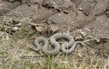 秦嶺深山偶遇到秦嶺蝮蛇,昂著頭直吐芯子,該怎麼辦?