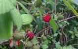 農村河邊的野草莓,小孩子的野味,是中草藥