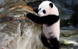 旅居西班牙大熊貓在動物園內玩耍 短腿小滾滾萌化了