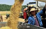 河南汝南:搶收小麥 顆粒歸倉