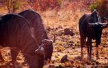 南半球,草原都變成金黃了,動物倒不少,但食肉猛獸就無緣一見
