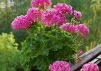 """天竺葵怎麼度過夏天?記住""""3件事"""",花兒朵朵開,美過月季玫瑰"""
