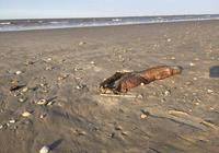 """""""哈維""""颶風后發現的一隻被衝上得克薩斯州海灘的神祕生物"""