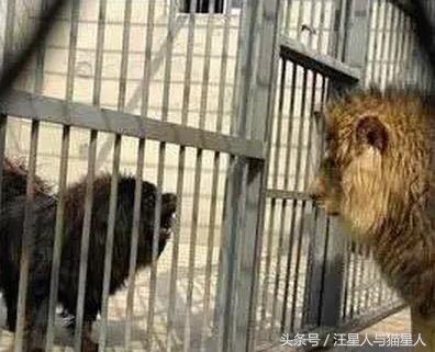 藏獒挑戰獅子,獅子接受挑戰,藏獒卻懵逼了
