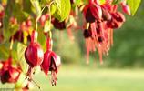 倒掛金鐘,別名:燈籠花、吊鐘海棠