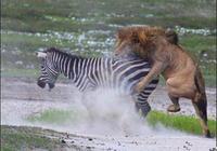 雄獅對斑馬霸王硬上弓,被斑馬爆頭險駕鶴西去!