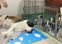 狗媽媽生了一群小狗狗,餵奶時身體都被掏空了,太辛苦了