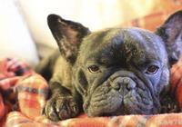 常見寵物犬的致命傳染病