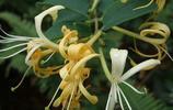 這八種的爬藤植物一開花就成瀑布,很簡單就讓陽臺成為小花園