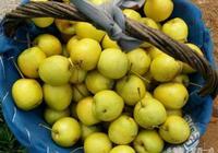 梨子這樣釀酒才好喝,一斤梨子放多少白糖?