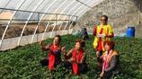 春暖花開吉林郊外採摘漸成時尚 市民大棚內採摘草莓、蔬菜享樂趣