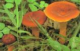 鮮菌之王——奶漿菌