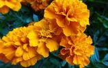 自然風光圖集:萬壽菊