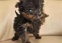 英國身型最小的一隻狗狗,從死神手裡撿回了一條命!
