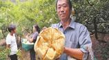 農民們自從種上這種水果,樂的嘴都合不攏,年收入十多萬不是夢!