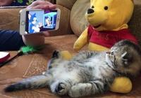 小貓皇霸氣橫躺小熊維尼腿上,奴才拿手機播卡通給它看萌死了!