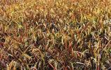 """為水稻穿上""""花衣裳"""",彩色水稻跟普通水稻有什麼區別"""