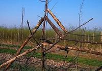 果樹修剪中常用的這六種手法都是錯的!