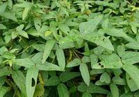農村一種野草,長得像大豆,如今稀少且珍貴,見到請好好保護它