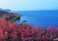 爛漫櫻花節,浪漫撫仙湖