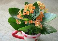 陽臺養一盆長壽花就夠了!開花多一簇簇,仔細打理,還能成老樁!