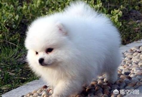 博美犬應該如何飼養?需要注意什麼?