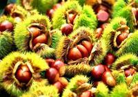 板栗富含多種營養,板栗對身體有哪些好處,板栗怎麼吃好?