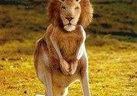 有袋類食肉動物——劊子手袋獅