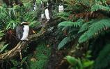 企鵝:島黃眉企鵝,也稱響絃角企鵝,斯內斯鳳頭企鵝!