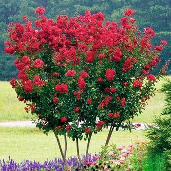 院子裡一年四季掛滿了小燈籠,原來都是因為種了一種爬藤花