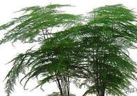 文竹就喜歡吃甜的,半月喝勺白糖水,蹭蹭長個不黃葉,一竄2米高