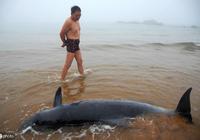 鄱陽湖的黑精靈——江豚