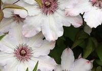 鐵線蓮花園,繁花似錦,美極了!
