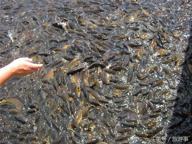 美國鯉魚氾濫成災