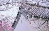 賞櫻花何必去日本,河南許昌的這座櫻花園,櫻若粉雪,春意盎然!