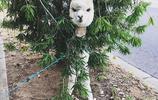 養一隻羊駝當寵物,是什麼感覺?
