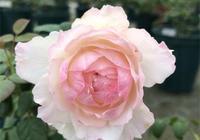 月季小苗開花,要不要摘花?這樣做,小苗安然無恙,長得旺