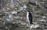 深入南極洲腹地,讓我們近距離觀察帽帶企鵝